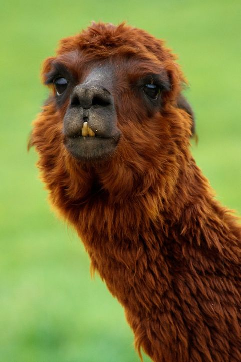 alpaca-18009_1280 - Bildquelle: Pixabay