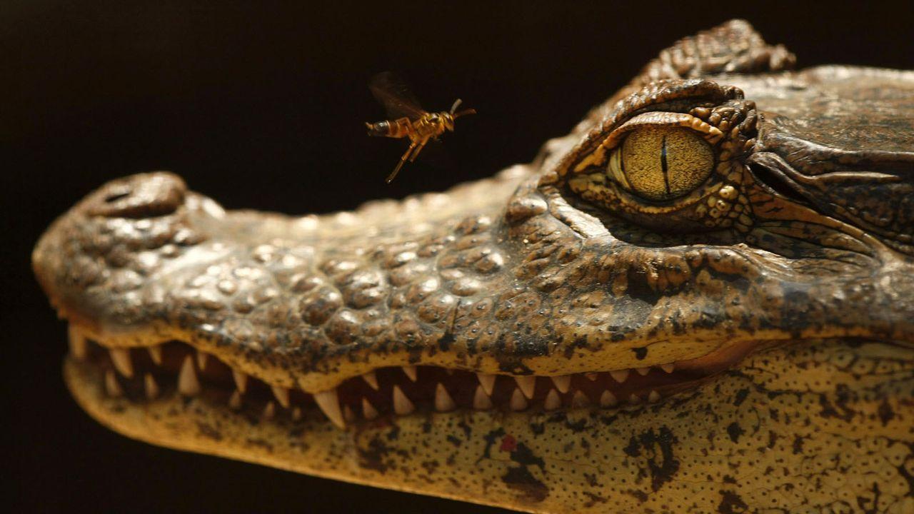Alligator - Bildquelle: dpa