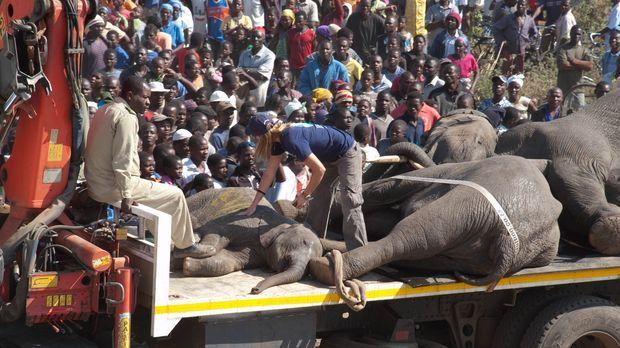 Die beruhigten Elefanten werden zum Lastkraftwagen transportiert, wo sie von...