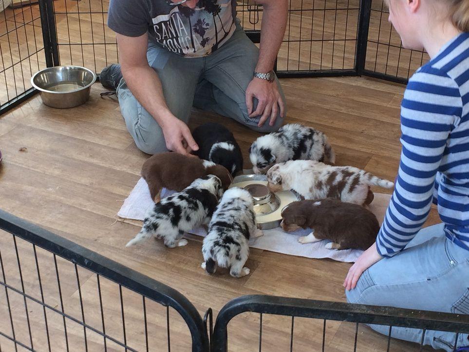 Familie Zieglerski schaut sich bei einem Züchter Australian Shepherd Welpen an. Doch ist das die geeignete Rasse für sie? - Bildquelle: SAT.1