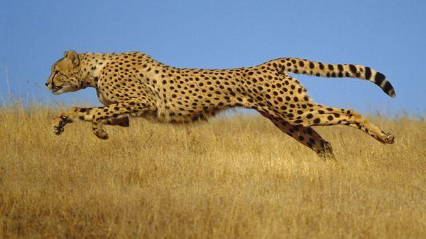 Der Gepard gehört zu den schnellsten Tieren der Welt: Geschwindigkeiten von ü...